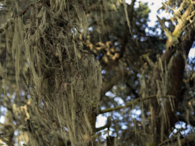 lichen nest under branch Immersed in an Ancient Forest: The California Redwoods- contemporary photography series by Lincoln Schatz