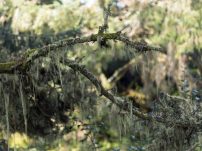 detail of lichen on branch Immersed in an Ancient Forest: The California Redwoods- contemporary photography series by Lincoln Schatz