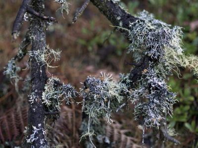 spiny lichen on branch Immersed in an Ancient Forest: The California Redwoods- contemporary photography series by Lincoln Schatz