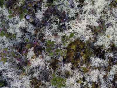 deer lichen with leaves Immersed in an Ancient Forest: The California Redwoods- contemporary photography series by Lincoln Schatz