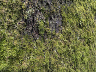 tree with lichen Immersed in an Ancient Forest: The California Redwoods- contemporary photography series by Lincoln Schatz
