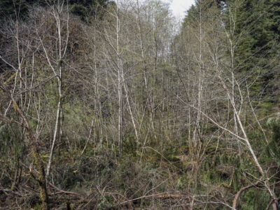 early spring white bark trees Immersed in an Ancient Forest: The California Redwoods- contemporary photography series by Lincoln Schatz