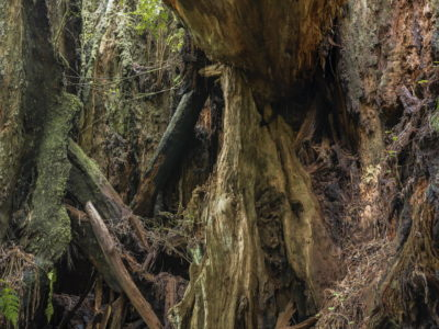 deep forest composition Immersed in an Ancient Forest: The California Redwoods- contemporary photography series by Lincoln Schatz