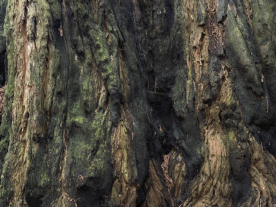 burnt and live bark Immersed in an Ancient Forest: The California Redwoods- contemporary photography series by Lincoln Schatz