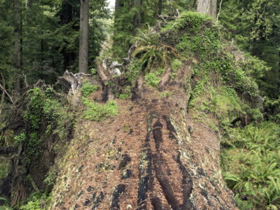 a fallen giant redwood- the earthquake tree Immersed in an Ancient Forest: The California Redwoods- contemporary photography series by Lincoln Schatz