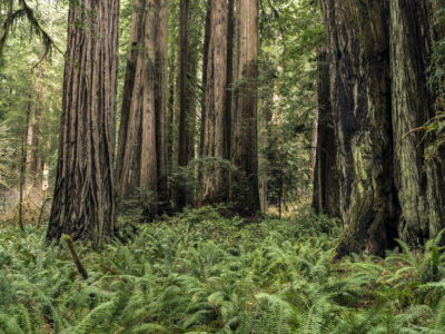 grove of trees with ferns Immersed in an Ancient Forest: The California Redwoods- contemporary photography series by Lincoln Schatz