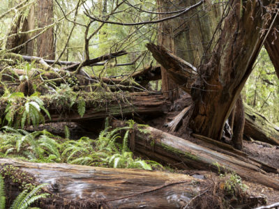 fallen forest with ferns Immersed in an Ancient Forest: The California Redwoods- contemporary photography series by Lincoln Schatz