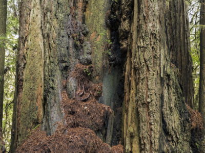 tree sculpture Immersed in an Ancient Forest: The California Redwoods- contemporary photography series by Lincoln Schatz