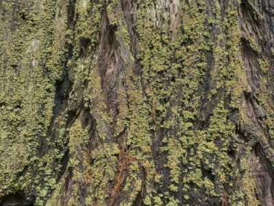 lichen layer on tree Immersed in an Ancient Forest: The California Redwoods- contemporary photography series by Lincoln Schatz