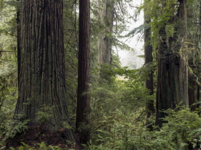 redwood density with fog Immersed in an Ancient Forest: The California Redwoods- contemporary photography series by Lincoln Schatz