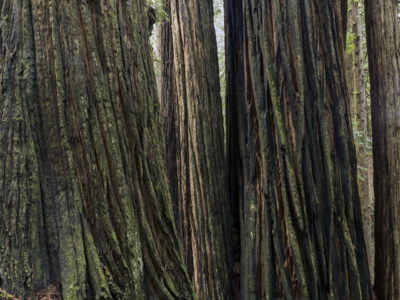 vertical bark patterns Immersed in an Ancient Forest: The California Redwoods- contemporary photography series by Lincoln Schatz