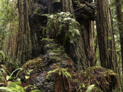 magnificent redwood forest Immersed in an Ancient Forest: The California Redwoods- contemporary photography series by Lincoln Schatz