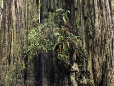 fern between trees Immersed in an Ancient Forest: The California Redwoods- contemporary photography series by Lincoln Schatz